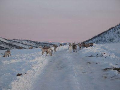 Недалеко от выезда на трассу опять встреча с оленями