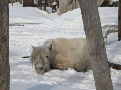 Усталая грустная лошадь в Среднеколымске.