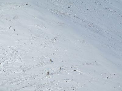 Снежные бараны.