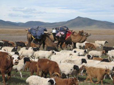 Перегоняют стада поближе к Улан-Батору.