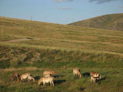 Лошади Пржевальского. Нам удалось их увидеть.